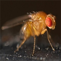 Fruit flies in general and the discovery of Queensland fruit fly in Devonport